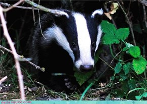 English Badger