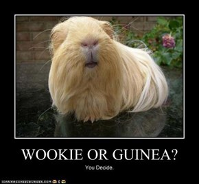 WOOKIE OR GUINEA?