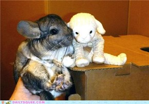 Chinchilla Meets a New Friend