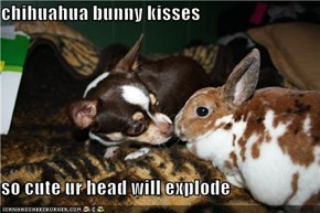 chihuahua bunny kisses  so cute ur head will explode