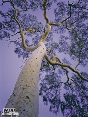 The mighty EUCALYPT  GUM TREE from AUSTRALIA