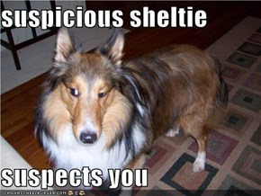 suspicious sheltie  suspects you