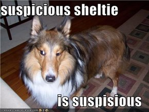 suspicious sheltie  is suspisious