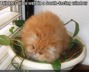 Tribbles grow well in a South-facing window