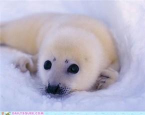 Squee Spree: Hark! A Harp Seal!