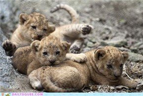 Three Months Old, Three Cubs, Three Times the Squee