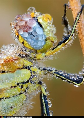 Macro Photography: Dew Covered Red Veined Darter