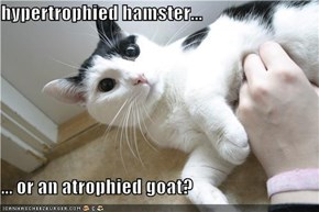hypertrophied hamster...  ... or an atrophied goat?