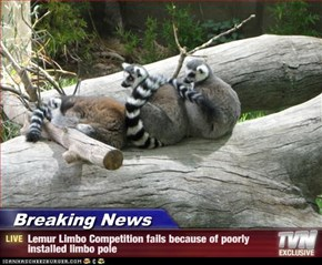 Breaking News - Lemur Limbo Competition fails because of poorly installed limbo pole