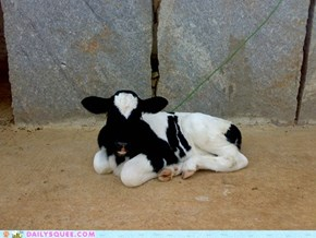 8 day old calf