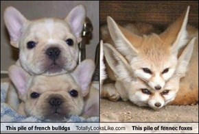 This pile of french bulldgs Totally Looks Like This pile of fennec foxes