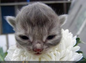Cyoot Kitteh of teh Day: Full Blossom