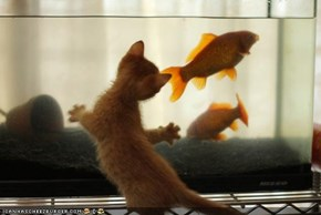 Cyoot Kitteh of teh Day: Dinner, Y U Swim Away?!