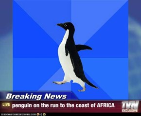 Breaking News - penguin on the run to the coast of AFRICA