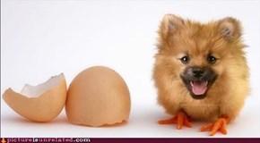 Pom Chick