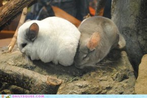 Two-Chinchilla Pileup!