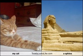 my cat Totally Looks Like a sphinx