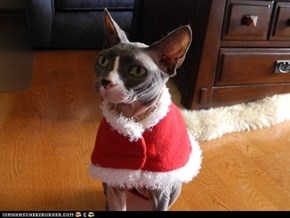 Advent Kitteh of teh Day: Iz Alwaiz Sew Kold in Desembur!