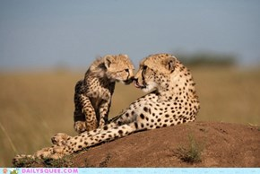 Face-to-Face Cheetah Squee