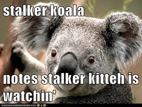 stalker koala  notes stalker kitteh is watchin'
