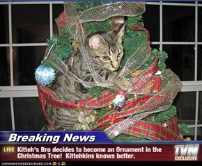 Breaking News - Kitteh's Bro decides to become an Ornament in the Christmas Tree!  Kittehkins knows better.