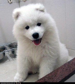 Goggie ob teh Week: Floofy Puppy