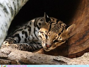 Squee Spree: I Didn't Get An Ocelot of Sleep Last Night...