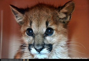 Mountain lion cub found abandoned on hillside area of Burbank