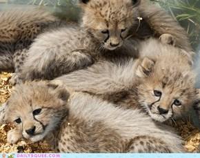 Cheetah Jenga