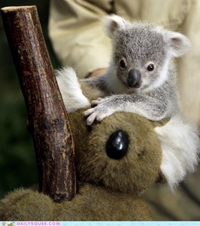 The Tiniest, Sweetest Koala