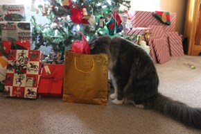Curious Christmas Cat of the Day
