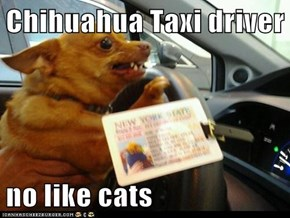 Chihuahua Taxi driver  no like cats