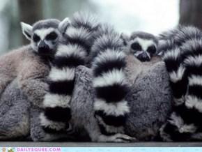 Lemur Dreamers