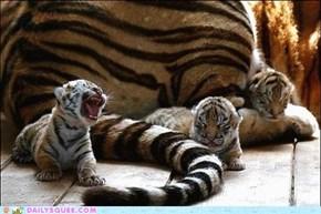 Teeny Tiny Tiger Tots