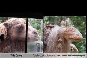 This Camel Totally Looks Like This Creature from The Dark Crystal