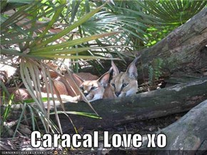 Caracal Love xo