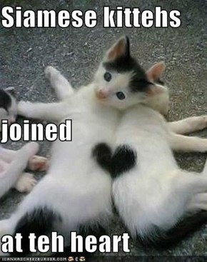 Siamese kittehs  joined at teh heart
