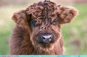 Grumpy Cow is Grumpy