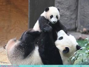 Panda Bear Playtime!