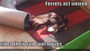Ferrets act weired  when their sun spot moves...