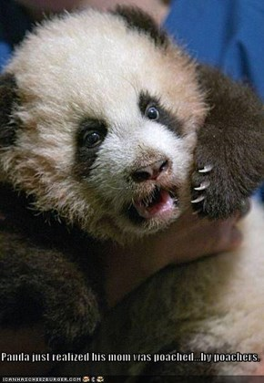 Panda just realized his mom was poached...by poachers.