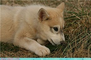 Squee Spree: Wonderful White Wolf Cub