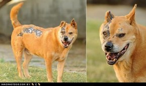 Terminator Dog Needs Loving Home