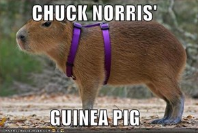 CHUCK NORRIS'  GUINEA PIG