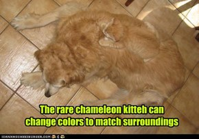 The rare chameleon kitteh can change colors to match surroundings