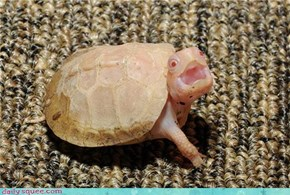 Albino baby box turtle