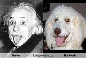 Einstein Totally Looks Like This Poodle
