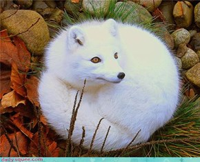 Ball of Fox Love