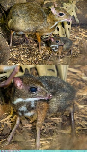 Tiny & Tinier (Mousedeer)