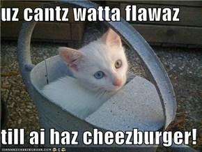 uz cantz watta flawaz  till ai haz cheezburger!